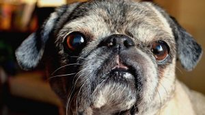 owning a pug - 10 facts